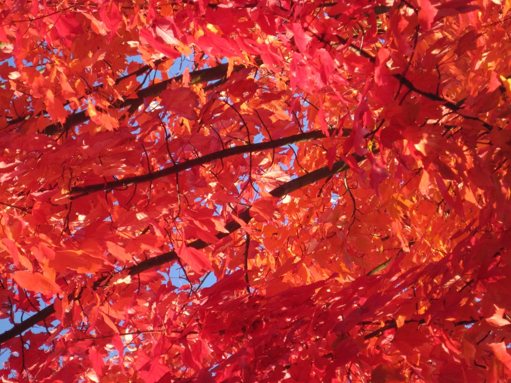 Red Leaves, Blue Sky